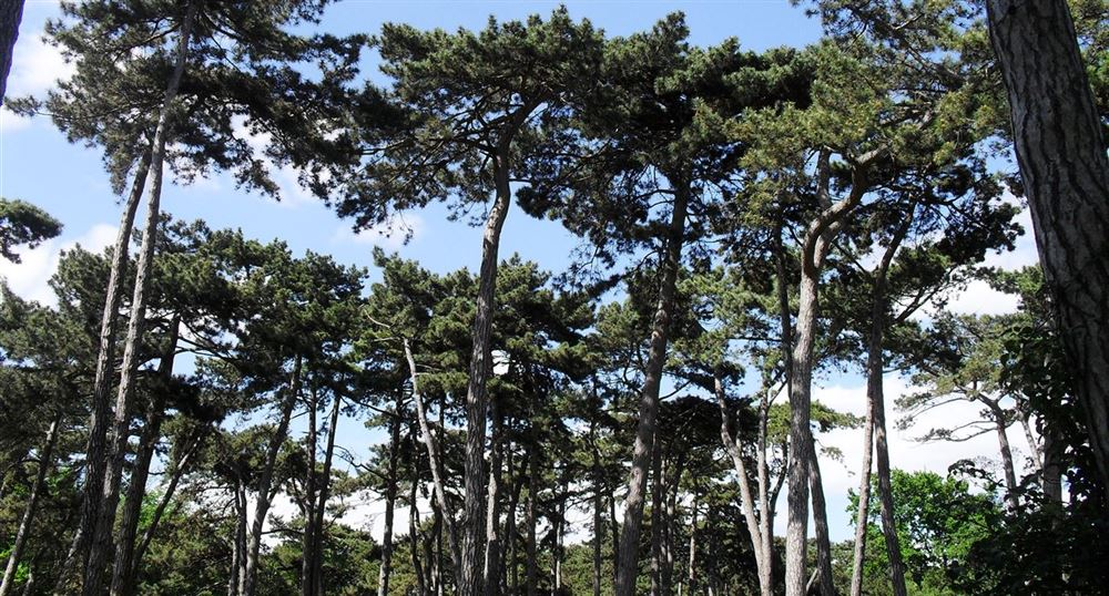 The large pine forest