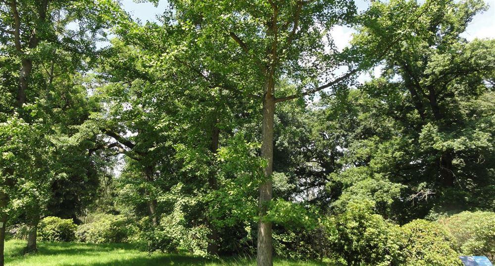 Ginkgo, arbre aux quarante écus
