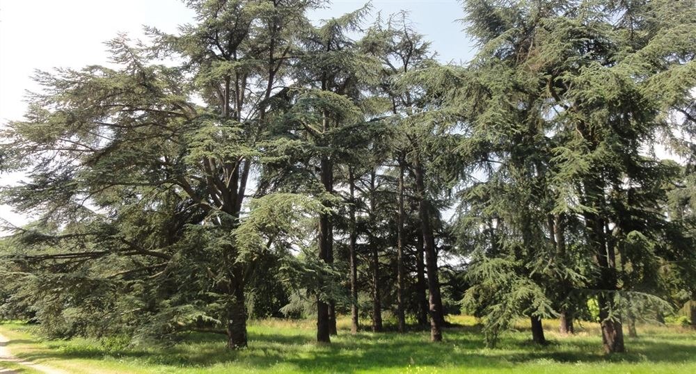 The Atlas Cedar