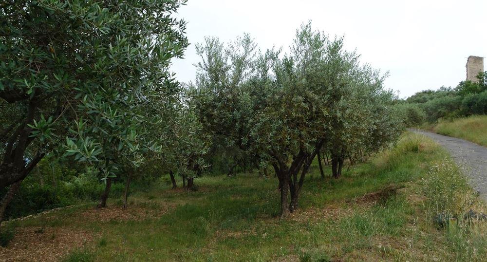 Les oliviers sur le Mont d'Or